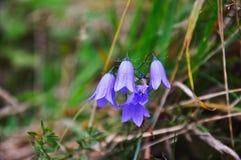 Il bello bellflower con molte fioriture Fotografia Stock