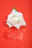 Il bello bianco è aumentato su colore rosso Fotografie Stock