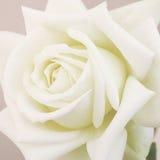 Il bello bianco morbido è aumentato Fotografie Stock