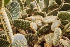 Il bello cactus dell'opunzia lascia il fondo e la struttura immagini stock libere da diritti