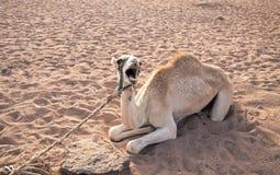 Il bello cammello si trova sulla sabbia e canta Fotografia Stock Libera da Diritti