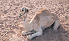 Il bello cammello si trova sulla sabbia e canta Fotografie Stock Libere da Diritti