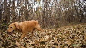 Il bello cane funziona nel parco di autunno sulle foglie gialle archivi video