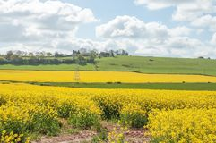 Il bello Canola giallo pota nell'estate britannica Fotografia Stock
