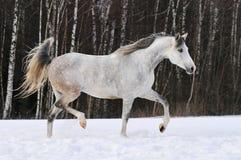 Il bello cavallo bianco di Tersk funziona sulla neve Fotografie Stock Libere da Diritti