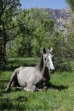 Il bello cavallo grigio si trova in uno schiarimento fra gli alberi verdi, tempo di molla immagine stock