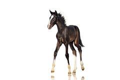 Il bello cavallo nero del puledro cammina su un fondo bianco isolato Immagini Stock