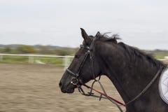 Il bello cavallo nero galoppa sull'arena Fotografie Stock Libere da Diritti