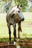 Il bello cavallo sta mangiando l'erba nel campo immagini stock libere da diritti