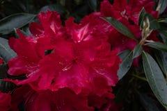 Il bello cespuglio rosa vibrante del rododendro in piena fioritura, si chiude sulla mostra del dettaglio complesso del fiore immagini stock libere da diritti