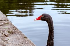 Il bello cigno nero nuota in uno stagno in un parco della città fotografia stock libera da diritti