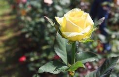 Il bello colore giallo è aumentato fotografia stock libera da diritti