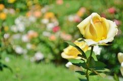 Il bello colore giallo è aumentato in un giardino Fotografie Stock Libere da Diritti