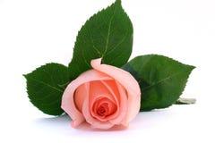 Il bello colore rosa è aumentato Immagine Stock Libera da Diritti