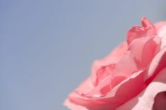 Il bello colore rosa è aumentato sull'azzurro fotografia stock