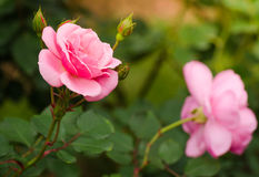 Il bello colore rosa è aumentato in un giardino Fotografia Stock