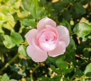 Il bello colore rosa è aumentato in un giardino Fotografie Stock Libere da Diritti
