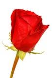 Il bello colore rosso è aumentato Immagine Stock Libera da Diritti