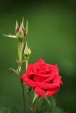Il bello colore rosso è aumentato Immagini Stock
