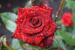 Il bello colore rosso è aumentato con rugiada Fotografie Stock Libere da Diritti