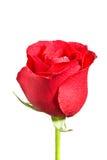 Il bello colore rosso è aumentato su una priorità bassa bianca Fotografia Stock Libera da Diritti