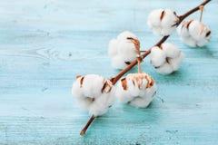 Il bello cotone bianco fiorisce sul fondo di legno del turchese fotografia stock