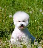 Il bello cucciolo bianco di bichon frize la razza Fotografie Stock