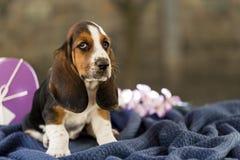 Il bello cucciolo del basset hound con gli occhi tristi e le orecchie lunghe fotografia stock libera da diritti