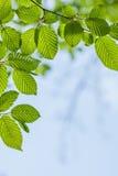 Il bello, dettaglio armonioso della foresta, con il carpino va fotografia stock libera da diritti