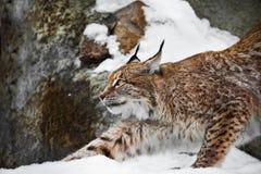 Il bello e forte trotto selvaggio allunga dappertutto mentre cammina nella neve fotografie stock libere da diritti