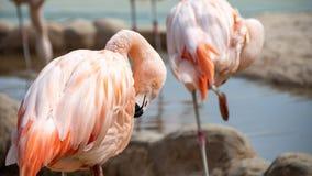 Il bello fenicottero rosa prende la cura delle sue piume immagine stock libera da diritti