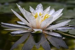 Il bello fiore bianco di loto o della ninfea con i petali delicati è riflesso in uno stagno La nymphaea Marliacea Rosea della nym fotografie stock libere da diritti