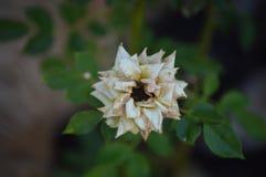 Il bello fiore bianco difettoso fotografia stock libera da diritti