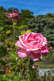 Il bello fiore bicolore è aumentato nel giardino all'aperto Fotografia Stock