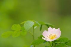 Il bello fiore del selvaggio è aumentato immagine stock