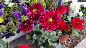 Il bello fiore della dalia in giardino immagini stock