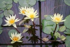 Il bello fiore di loto è il simbolo del Buddha Immagini Stock