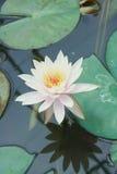 Il bello fiore di loto è il simbolo del Buddha Fotografie Stock