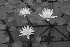 Il bello fiore di loto è il simbolo del Buddha, Tailandia Cl Fotografie Stock Libere da Diritti