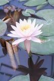 Il bello fiore di loto è il simbolo del Buddha, Tailandia Cl Fotografia Stock Libera da Diritti