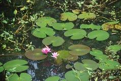 Il bello fiore di loto del fiore nello stagno della Tailandia riflette sull'acqua Fotografia Stock Libera da Diritti