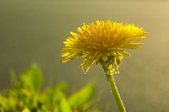 Il bello fiore giallo decora il campo fotografia stock