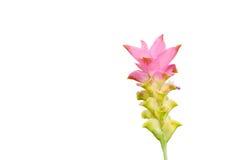 Il bello fiore isolato Immagini Stock Libere da Diritti