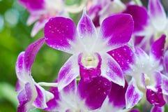 Il bello fiore rosa dell'orchidea Fotografia Stock Libera da Diritti