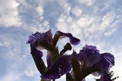 Il bello fiore viola dell'iride di colore Fotografia Stock Libera da Diritti