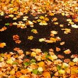Il bello fondo di autunno con le foglie di acero si chiude su Immagine luminosa variopinta con lo spazio della copia per la vostr Immagine Stock Libera da Diritti
