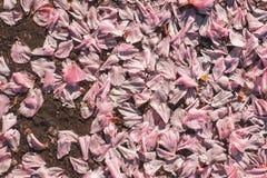 il bello fondo fiorisce la struttura della tenerezza della molla Fotografie Stock