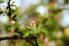 Il bello fondo molle con la fioritura fiorisce sull'albero Fotografie Stock