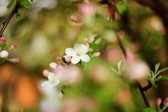 Il bello fondo molle con la fioritura fiorisce sull'albero Immagini Stock Libere da Diritti