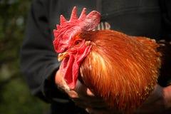 Il bello gallo del villaggio Fotografie Stock Libere da Diritti